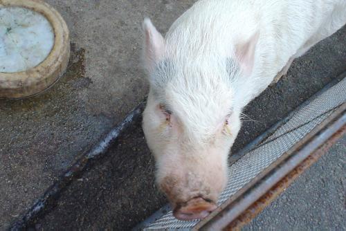榎本牧場:豚ちゃん