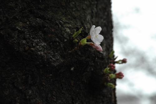 桜が咲いていればなぁ