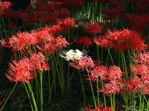 曼珠沙華(彼岸花):白い品種もある