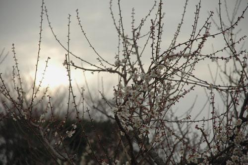 朝日に映える梅の花