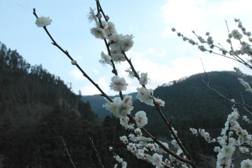 御岳渓流の梅