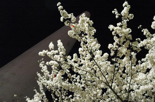 ※桜をめでる