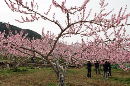 桃畑の様子