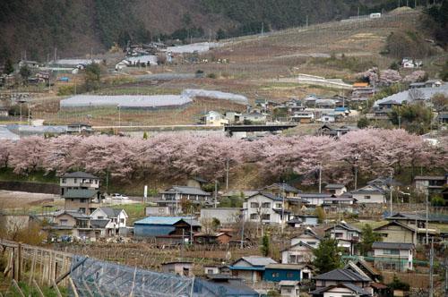 勝沼町ぶどうの丘:甚六桜