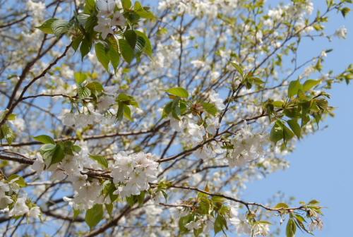 光が丘公園の桜