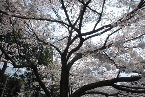 白子川の桜