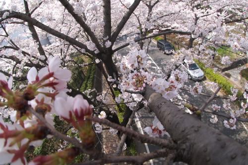 光が丘公園の桜 2008