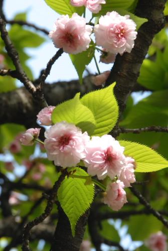 ケンロクエンキクザクラ(兼六園菊桜)