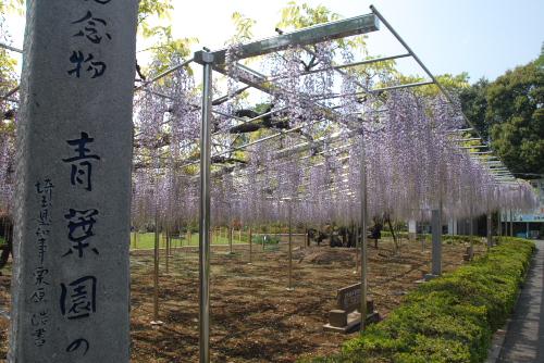 青葉園の藤棚