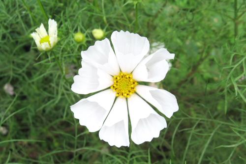 横須賀くりはま花の国のコスモス園