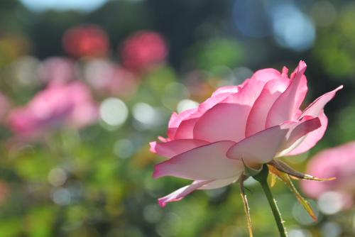生田緑地ばら苑の秋