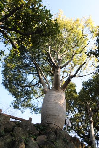 トックリの木