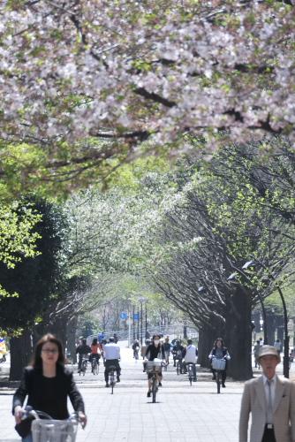 光が丘公園で散る桜