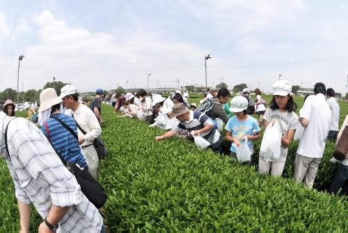狭山茶摘み体験フェスタ