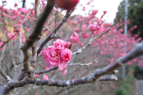 梅が咲き始めている