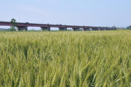 県道27号東松山鴻巣線と麦畑
