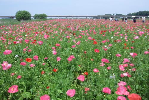 ポピーハッピースクエア:12.5haで、日本一広いポピー畑になる