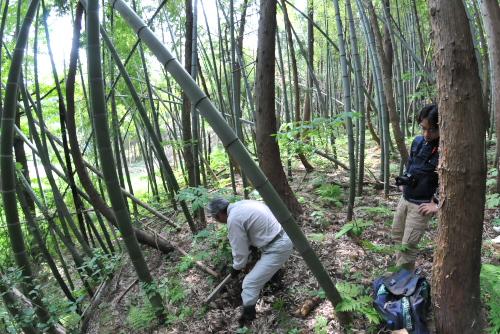 吉川:家のすぐ裏手が竹林:竹が傾いているのは雪の重みのせい