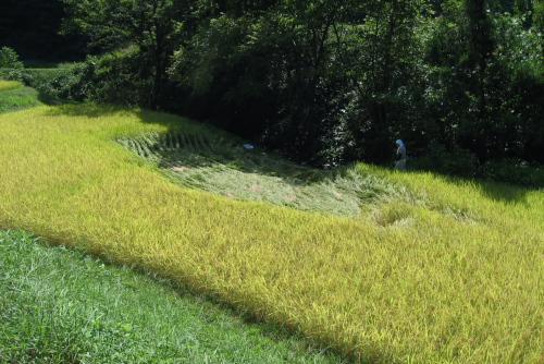吉川:稲が倒れているところは客土