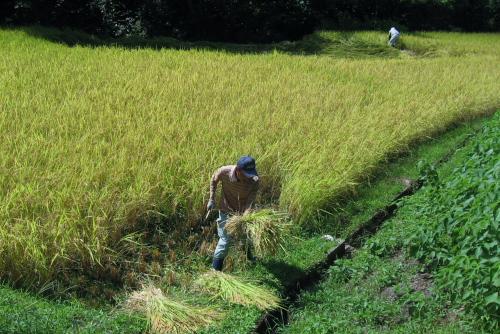 吉川:コンバインで収穫できない角は手で刈り取る