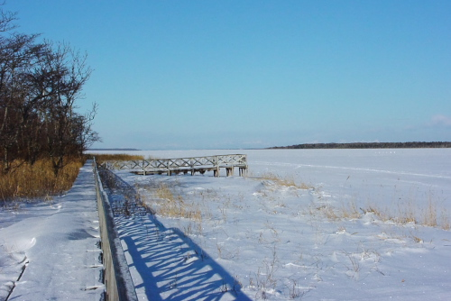 白鳥の風蓮湖