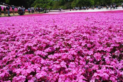 羊山公園・芝桜の丘 / 写真と実物のギャップ