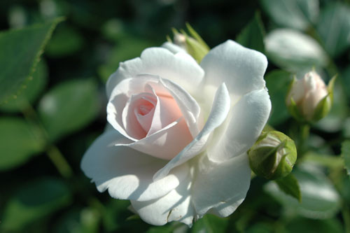 京成バラ園 / 咲き乱れる薔薇
