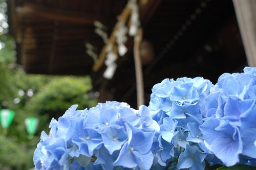 白山神社 / 文京あじさいまつり