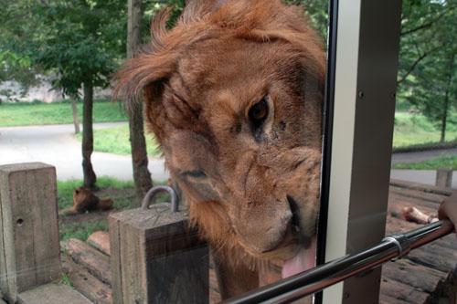 多摩動物公園 / 人間が檻に入るライオンバス