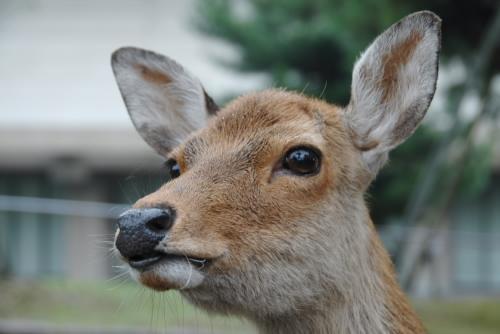 奈良公園の鹿たち