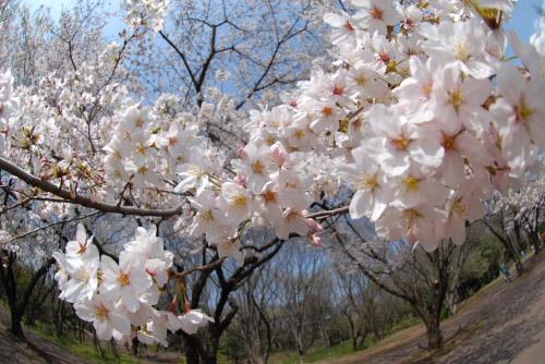 光が丘公園 / 2007年の桜