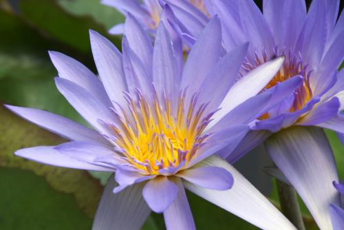 神奈川県立フラワーセンター(大船植物園) / 猛暑の睡蓮