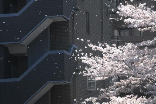目黒川の桜見物 - 目黒駅→池尻大橋駅