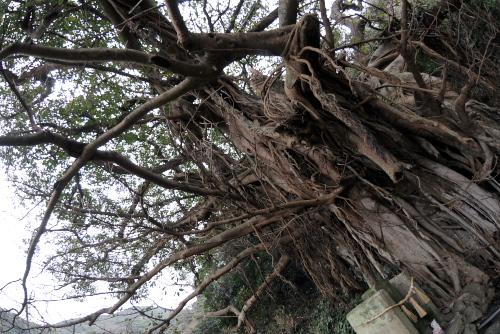 樫ノ浦のアコウ / 異形の巨樹