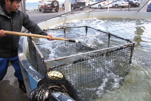 勝山活魚センター / シマアジを買ってみた