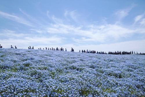 ネモフィラ咲く見晴らしの丘 / 国営ひたち海浜公園