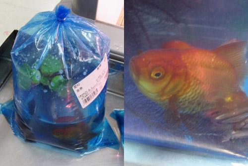 魚屋の金魚
