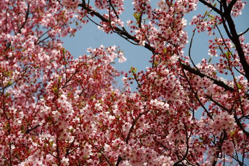 新宿御苑 / じつは桜の名所だった