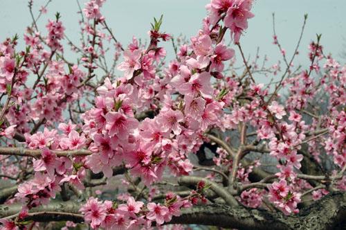 みさか桃の花まつり - 甲斐国分寺跡花見会場、御坂農園、花鳥山
