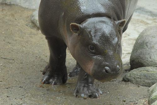 上野動物園 - コビトカバの小梅ちゃん