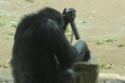 多摩動物公園 / 平和なチンパンジーの森