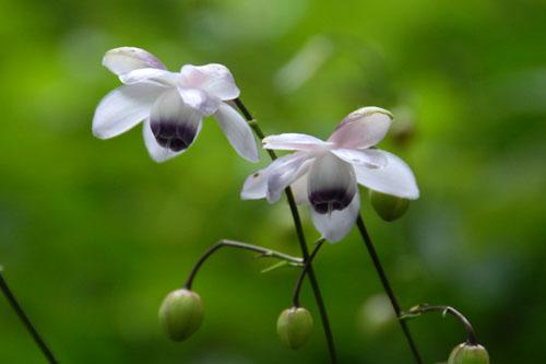 レンゲショウマ(蓮華升麻)の花