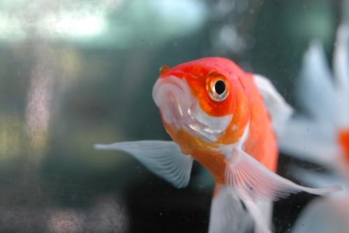 郡山金魚資料館の泳ぐ図鑑
