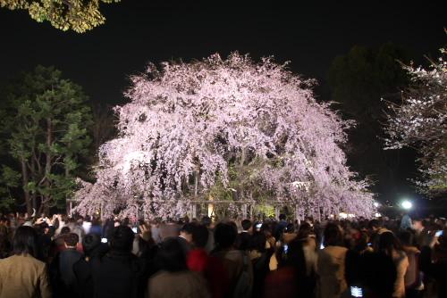 六義園 / しだれ桜と大名庭園のライトアップ