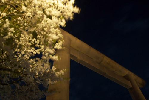 靖国神社の夜桜 / 夜まで花見客がいっぱい