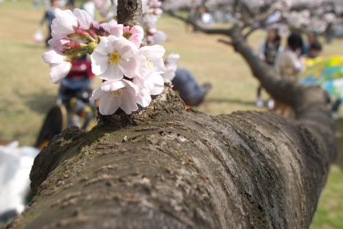 光が丘公園 / 2008年の桜