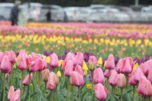 あけぼの山農業公園 / チューリップフェスティバル