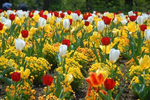 花の丘農林公苑のチューリップ