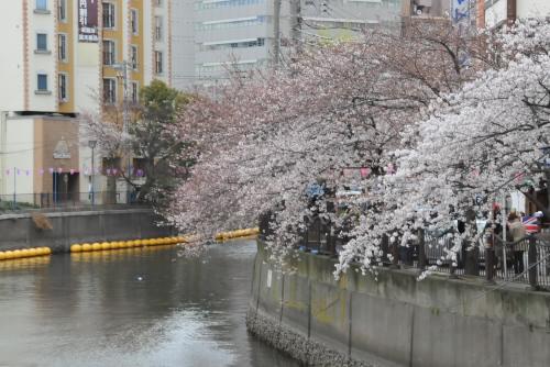 ちと早く、ちと寒かった / 大岡川桜祭り