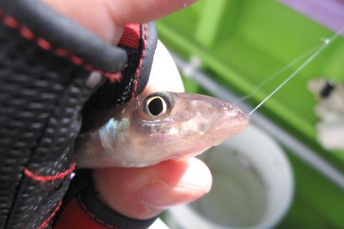 釣った魚を風呂を浴びているあいだに調理してもらって飲める喜び / 春のシロギス温泉パック